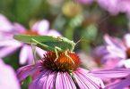 grasshopper-2551242_640